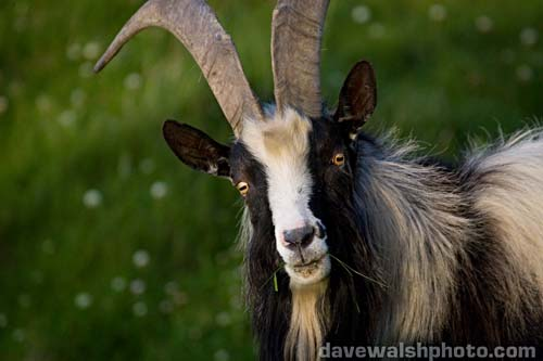 The head of the goat isn't used for our projection of Satan because of the horns. It's all in the beard. Nothing is more evil than a kempt beard. They should put this shit in books.